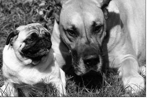 Pug and Dane